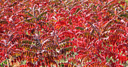 Autumn Sumac Print by James Hammen