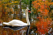 Autumn Foliage Prints - Autumn Swan Print by Lourry Legarde