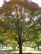 Green Cemetery Road Photos - Autumn Tree with Sun Peeking Through by Kathy Brown
