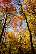 Skyway Prints - Autumn Trees Print by Lena Auxier