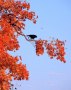 Starlings Metal Prints - Autumn View Through Red Leaves Metal Print by Gothicolors And Crows