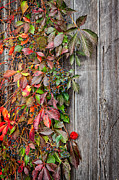 New England Metal Prints - Autumn Vine Metal Print by Bill  Wakeley