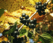 Black Berries Posters - Autumn Vine Poster by Emily Kelley