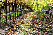 Wine Making Posters - Autumn Vineyard in Napa Valley Poster by Brandon Bourdages