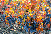 Grape Leaves Prints - Autumn Vineyard Sunlight Print by Carol Groenen