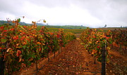 Stellenbosch Photo Posters - Autumn Vineyard Poster by Tania Nicholls