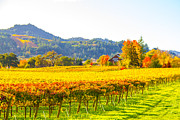 Sonoma County Vineyards. Prints - Autumn Vineyards Print by Tirza Roring