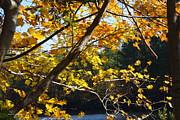 Tannis  Baldwin - Autumn Yellow