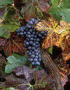 Winery Photography Posters - Autumn Zinfandel Cluster Poster by Craig Lovell