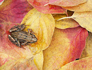 Common Metal Prints - Autumnal Frog Metal Print by Tim Gainey