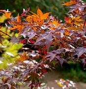 Turning Leaves Prints - Autumnal Japanese Maple Print by Michele Myers