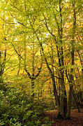 Autumn Photographs Posters - Autumnal Woodland III Poster by Natalie Kinnear