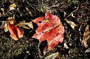 Red Fallen Leave Photo Posters - Autumns End Poster by JAMART Photography
