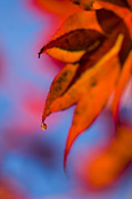 Droplet Framed Prints - Autumns Finest Framed Print by Anne Gilbert