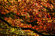 Backlit Framed Prints - Autumns Glory Framed Print by Anne Gilbert
