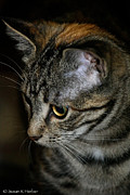 Golden Eye Cat Photos - Autumns Highlights by Susan Herber