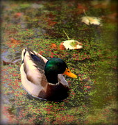 Mallards Prints - Autumns Mallard Print by Karen Wiles