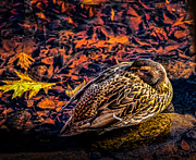 Waterfowl Posters - Autumns Sleepy Duck Poster by Bob Orsillo