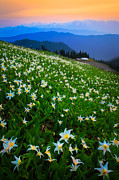 Nps Prints - Avalanche Lily Field Print by Inge Johnsson