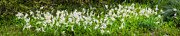 Angiosperms Art - Avalanche Lily Panorama by Rich Leighton