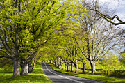 Kingston Prints - Avenue of Beech Trees Print by Helen Hotson