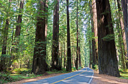 Old Growth Prints - Avenue Of The Giants Print by Heidi Smith