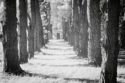 Avenue Prints - Avenue of Trees New Zealand Print by Colin and Linda McKie
