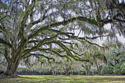 Bonnie Barry - Avery Island Oak