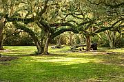 Oak Prints - Avery Island Oaks Print by Scott Pellegrin
