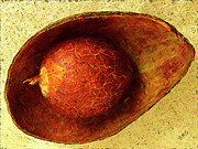 Avocado Digital Art Posters - Avocado Seed And Skin I Poster by Ben and Raisa Gertsberg