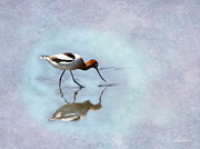 Diana Haronis Posters - Avocet Looking For Dinner Poster by Diana Haronis