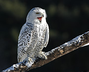 Snow Tree Prints Prints - Awakened- Snowy Owl Laughing Print by Inspired Nature Photography By Shelley Myke