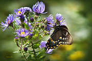 Swallowtail Butterflies Posters - Awakening Butterfly Poster by Christina Rollo