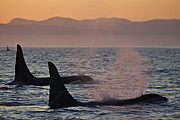Spouting Prints - Award Winning Photo Of Two Killer Whales At Sunset Dramatic Silhouette Print by Brandon Cole