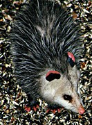 Possum Photos - Awesome Possum by Barbara S Nickerson