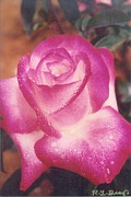 Robert Bray Metal Prints - Awesome Rose Pristine Metal Print by Robert Bray