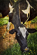 Calves Prints - Awww Shucks Print by Debra and Dave Vanderlaan