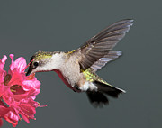 Beat Photos - Azalea And The Hummingbird by Lara Ellis