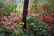 Southern Living Photos - Azalea Forest by Carol Groenen