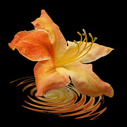 Flower Still Life Prints Prints - Azalea Ripples Print by Gill Billington