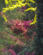 At Poster Digital Art - Azalea Surprise at Augusta by L J Oakes