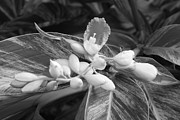Stopper Prints - B W Ginger Lily Blossom and Bug Print by Connie Fox