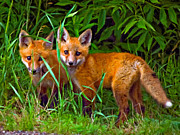 Fox Kits Framed Prints - Babes In The Woods impasto Framed Print by Steve Harrington