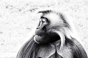Africa Art Prints - Baboon Print by Stephanie McDowell