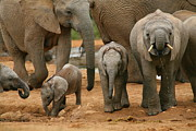 Mammals Photos - Baby African Elephants by Bruce J Robinson