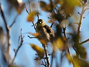 Canary Yellow Prints - Baby American Goldfinch Learning to Fly Print by J McCombie