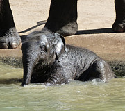 Margaret Saheed - Baby Asian Elephant...