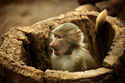 Jason Neely Acrylic Prints - Baby Baboon Acrylic Print by Jason Neely