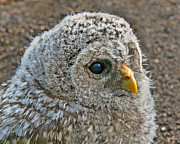 Owlet Prints - Baby Barred Owlet Print by Jennie Marie Schell