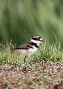 Killdeer Posters - Baby - Bird - Killdeer Poster by Travis Truelove